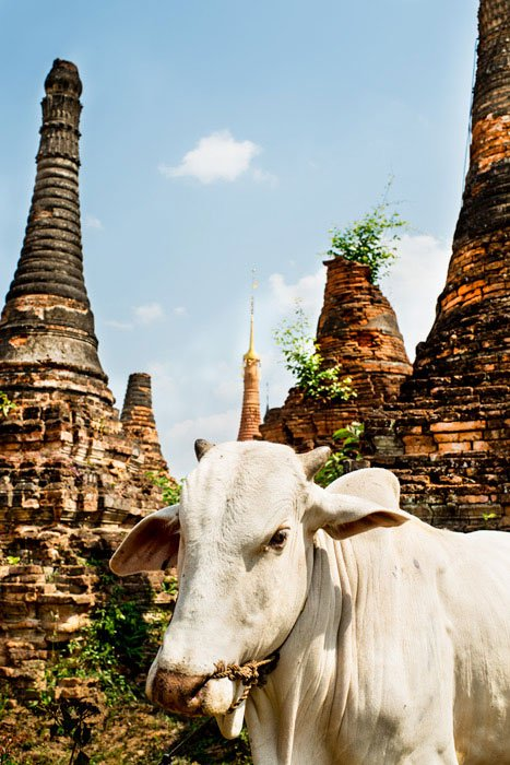 photographs in the middle of the day cow and pagodas