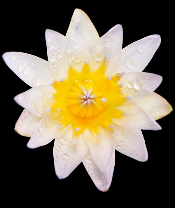 Looking down at a white lotus flower