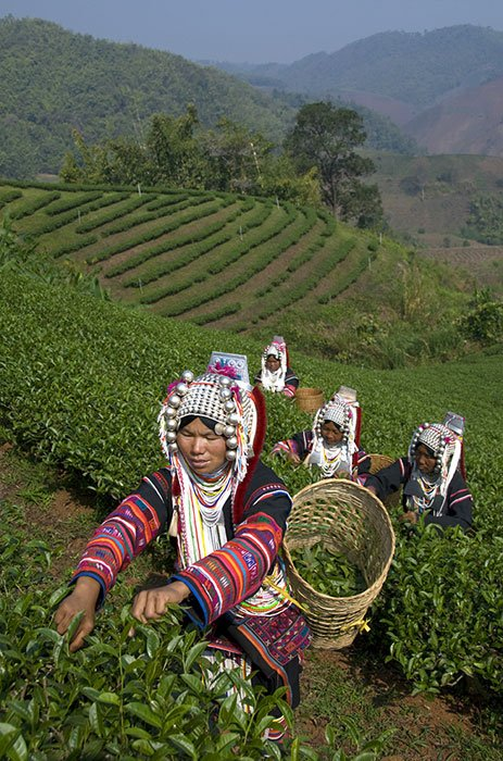 Akha women picking tea in Doi Mae Salong, Thailand.
