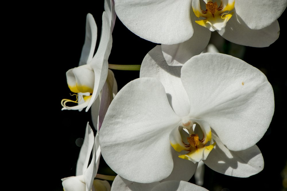 White Orchid Flowers on a Dark Background Exposing Your Creative Intent for More Powerful Photos