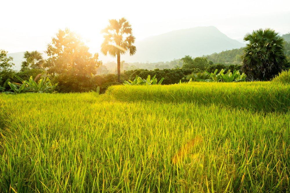 Suan Sook Homestay View across rice fields in Thailand